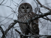 Westford Barred Owl