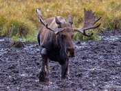 Moose in mud