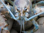 Rare Lobster