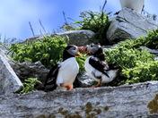 Puffin // Macareux à l'Ile aux Perroquets