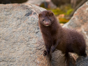 Cool Little Mink
