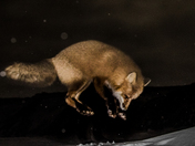 Red fox jumping under the moon