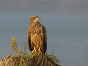 Bald Eagle juvi in early morning light
