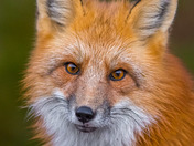 The Red Fox (Sleeping Giant)