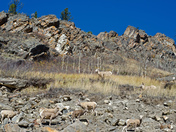 Mountain Sheep Kananaskis Alberta