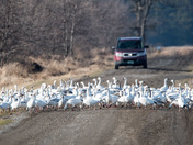 Addison Snow Geese