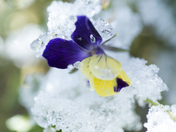 Pansy Under Frost
