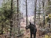 Mystic Moose