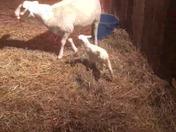 baby lamb born