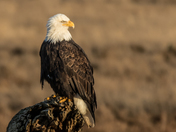 Bald Eagle in Golden Light