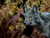 Eastern Wolf in Algonquin