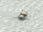 Turtles in December