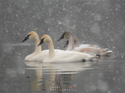 Trumpeter Swans in the Snow