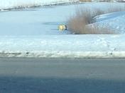 Minion polar plunge!