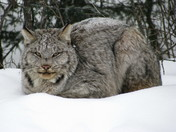 Snow Lynx