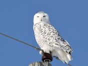 Fermale Snowy Owl
