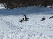 Duck,Duck,Goose!