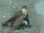 Hawk makes lunch of bluejay