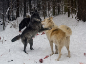 The Alpha Pair Of Timber Wolves