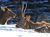 Laughing Elk