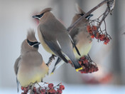 Cedar Waxwings on the Feed