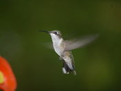 Humming Bird on Georgian Bay