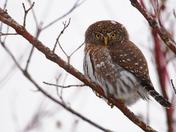 Snowy Pygmy Owl