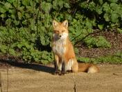 Red Fox (Vulpes vulpes ) catching some morning  sunshine at Gabilan Creek