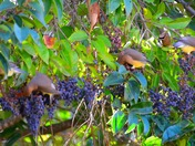 Waxwings in Ione