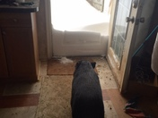 Tessie the pig contemplating getting out in the snow