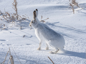 White-tailed Jackrabbit on a frosty Manitoba Morning