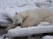 Napping Polar Bear