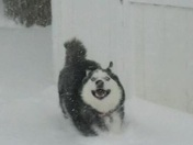 Husky in the snow!