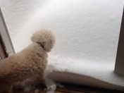 19 year old Dog eating snow