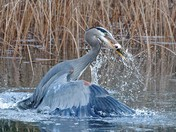 Hungry Heron