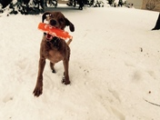 Eppie, my Chessie, having great fun in the snow