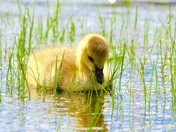 Gosling looking for food
