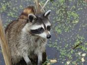 Raccoon at Hendrie Park