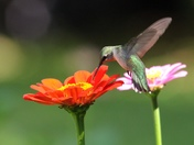Ruby-throated hummingbird sipping nectar