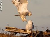 Male & Female Snowy Owls