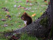 White Bellied Squirrel in Halifax