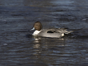 Male Northern Pintail 3