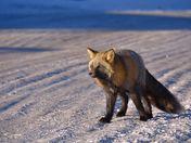 Cross Fox in Sunlight