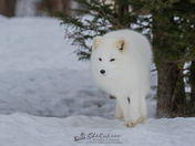 Arctic Fox (captive)