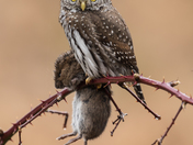 Northern Pygmy Owl with Vole
