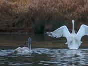Angel Wings Trumpeter Swan