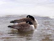 sleepy Canadian geese