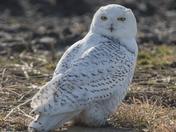 Ms. Snowy Owl