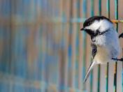 Posing Chickadee