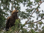 Golden Eagle Immature